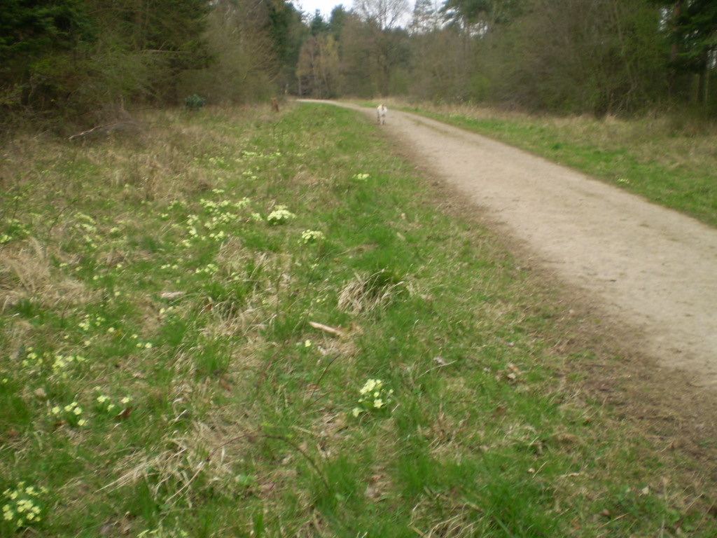 Primroses beside main track