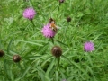 Carder bumblebee on knapweed